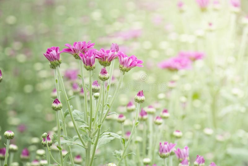 Flores rosadas del crisantemo imágenes de archivo libres de regalías