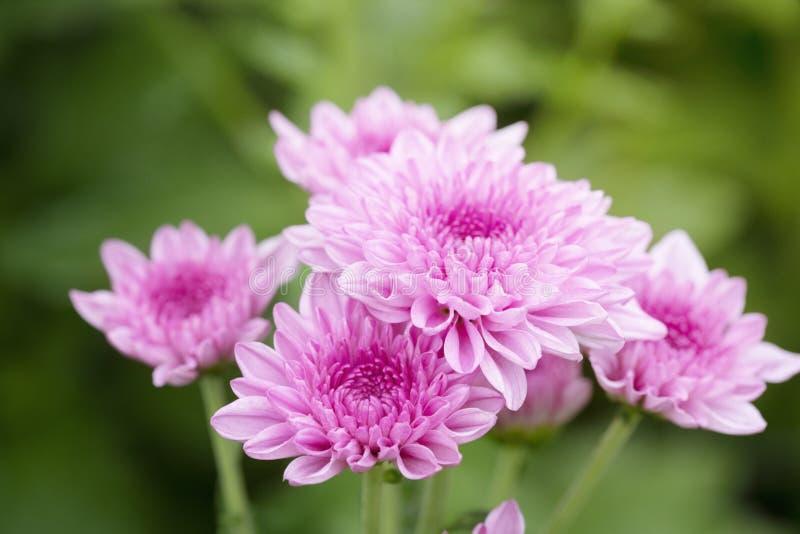 Flores rosadas del crisantemo foto de archivo libre de regalías