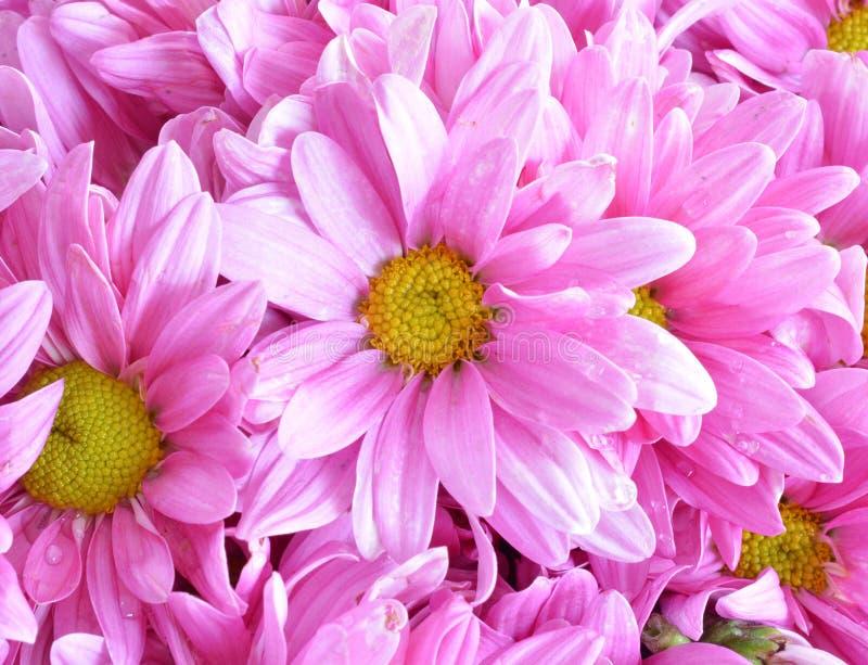 Flores rosadas del crisantemo foto de archivo