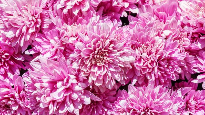 Flores rosadas del crisantemo imagen de archivo libre de regalías