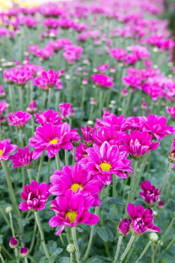 Flores rosadas del crisantemo fotos de archivo