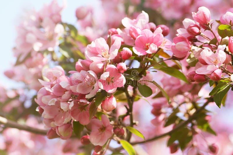 Flores rosadas del flor de la manzana contra un cielo azul imágenes de archivo libres de regalías