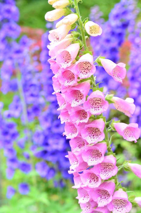 Flores rosadas del foxglove imagenes de archivo