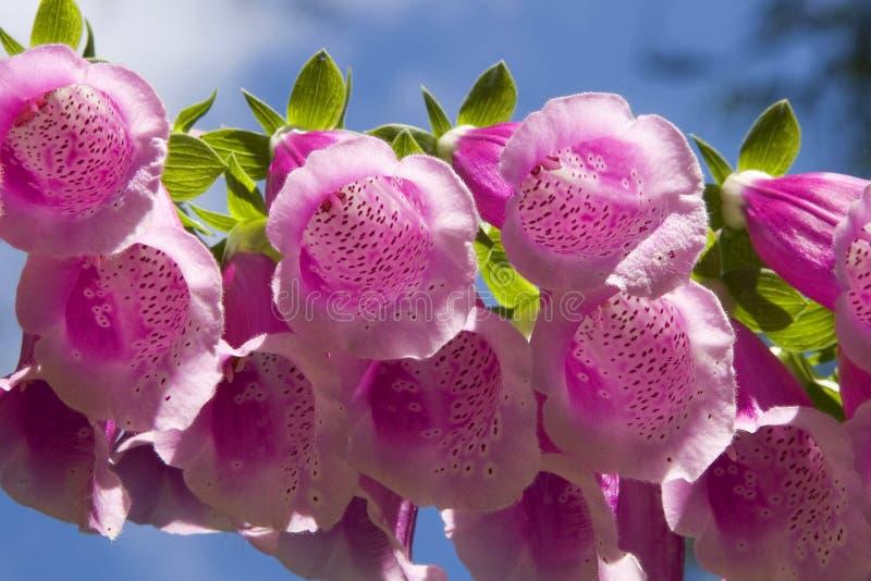 Flores rosadas del Foxglove imagen de archivo