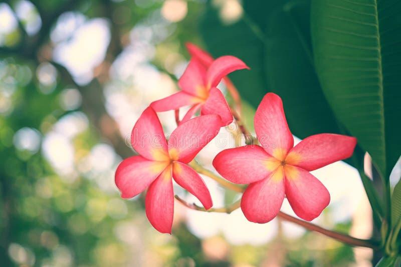 Flores rosadas del frangipani o plumeria rosado que florece en ?rbol en el jard?n foto de archivo