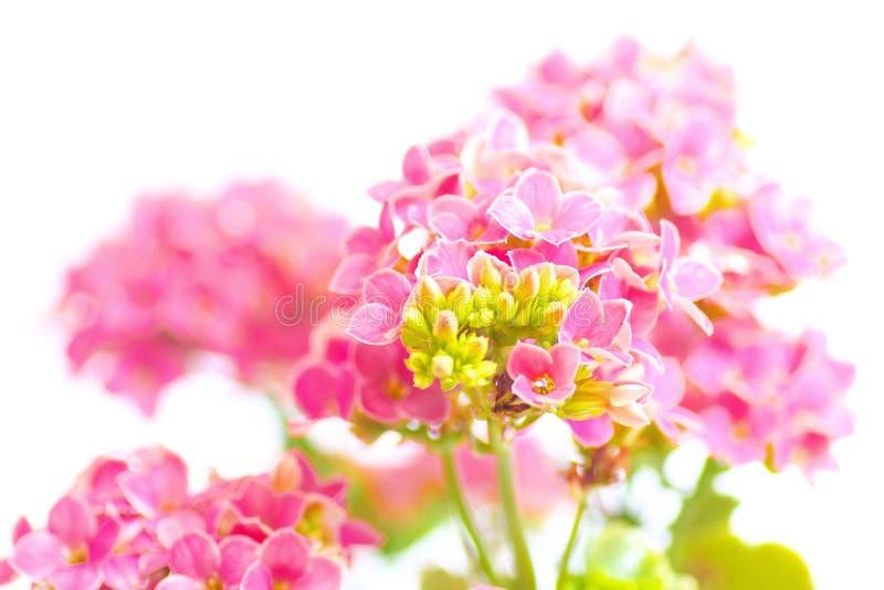 Flores rosadas del kalanchoe fotos de archivo libres de regalías