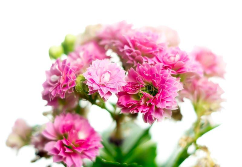 Flores rosadas del kalanchoe imagen de archivo