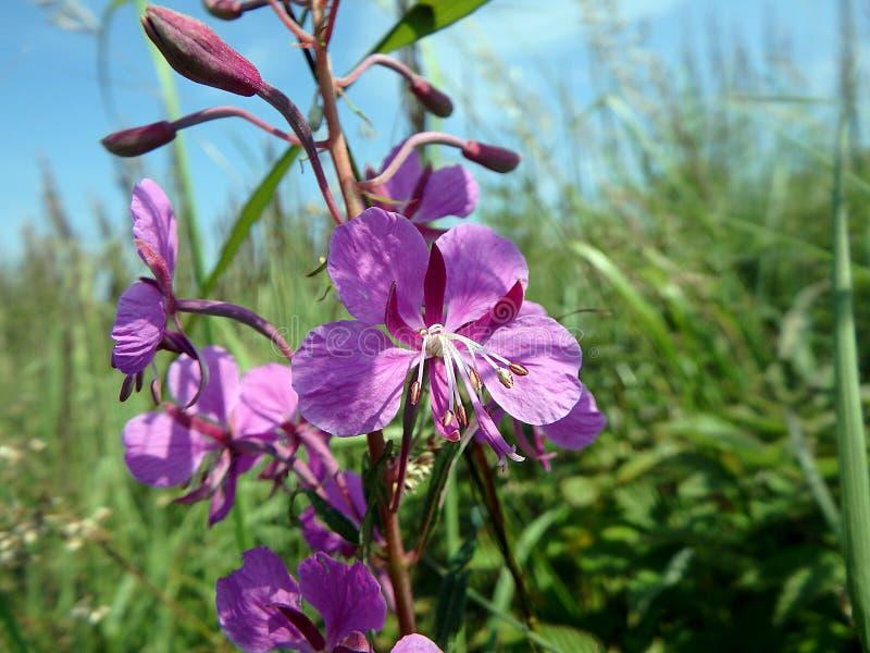 Flores rosadas del laurel de San Antonio fotografía de archivo libre de regalías