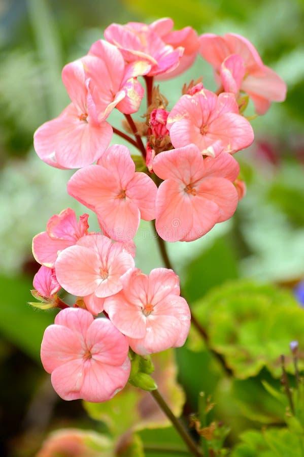 Flores rosadas del Pelargonium fotos de archivo