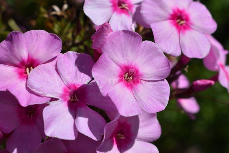 Flores rosadas del phlox fotografía de archivo