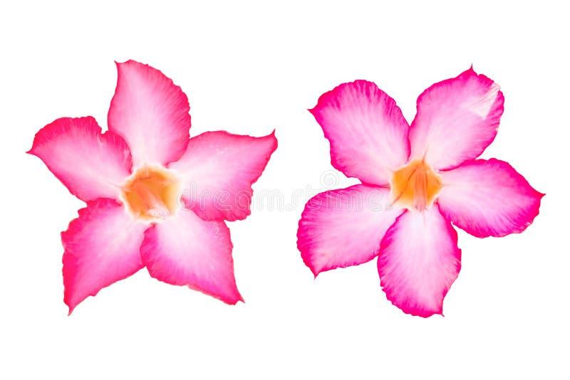 Flores rosadas del Plumeria aisladas en el fondo blanco imagenes de archivo