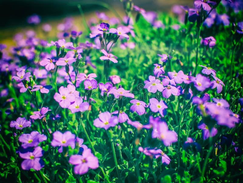Flores rosadas del polemonio de musgo fotografía de archivo