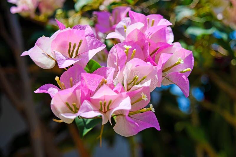 Flores rosadas del primer del rododendro en jardín foto de archivo libre de regalías