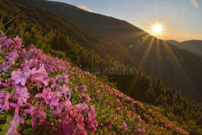 Flores rosadas del rododendro fotografía de archivo