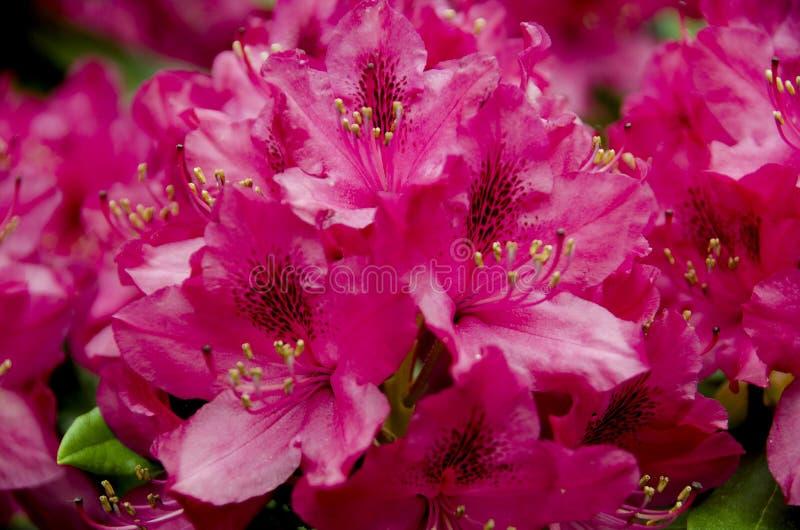 Flores rosadas del rododendro imágenes de archivo libres de regalías