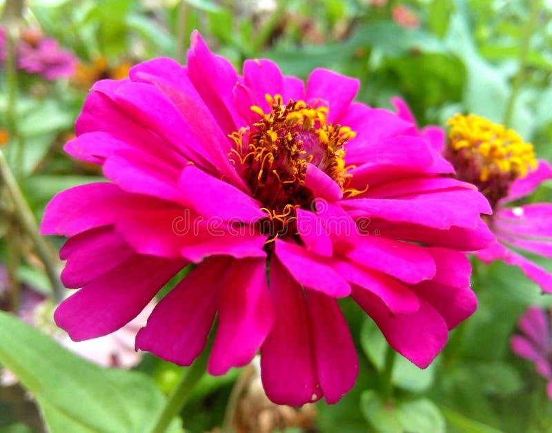 Flores rosadas del Zinnia fotos de archivo