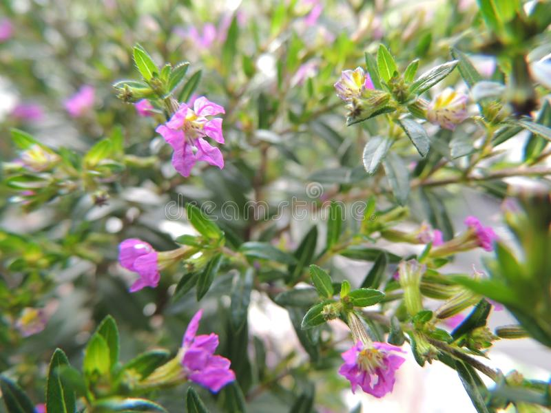 Flores rosadas delicadas y magníficas fotos de archivo libres de regalías