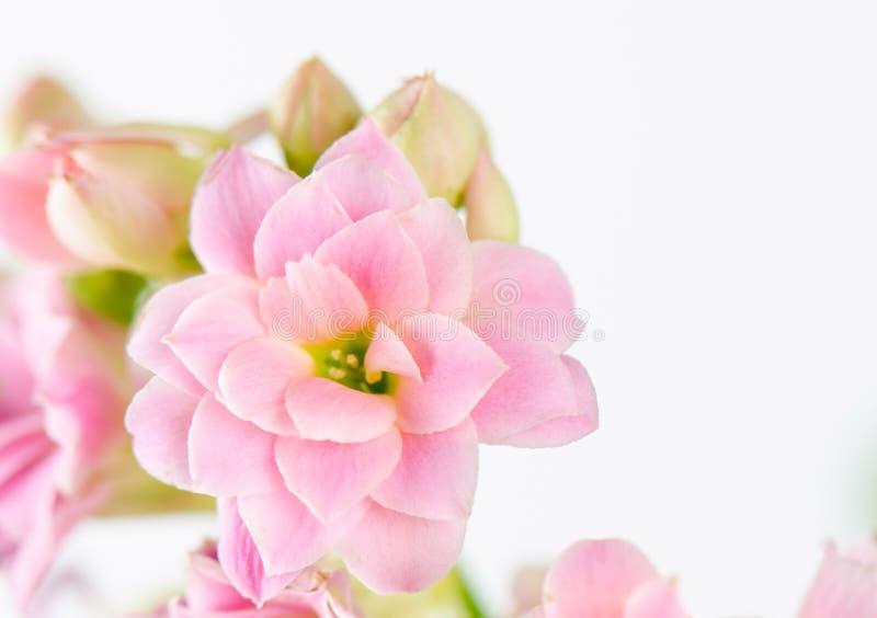 Flores rosadas en el fondo blanco, blossfeldiana de Kalanchoe fotografía de archivo