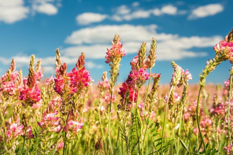 Flores rosadas en el primer del campo foto de archivo