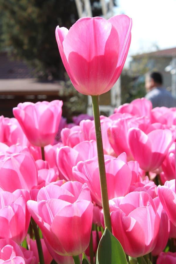 flores rosadas en jard?n fotos de archivo