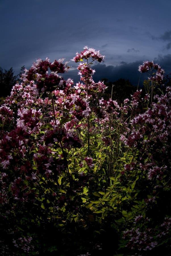 Flores rosadas en la puesta del sol fotos de archivo libres de regalías
