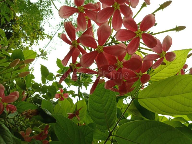 Flores rosadas en racimos con las hojas y los brotes imagen de archivo libre de regalías