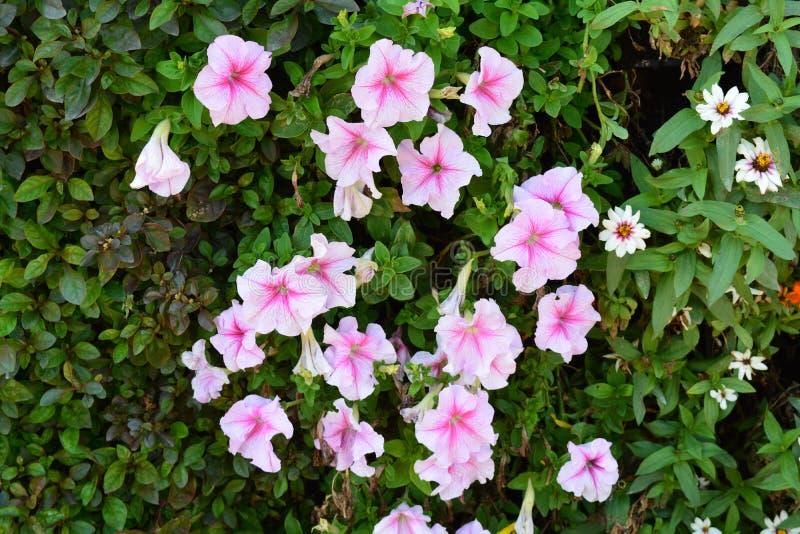 Flores rosadas en un manojo en un jardín imágenes de archivo libres de regalías
