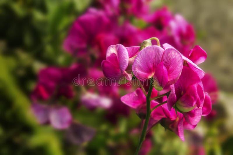 Flores rosadas en verano fotografía de archivo