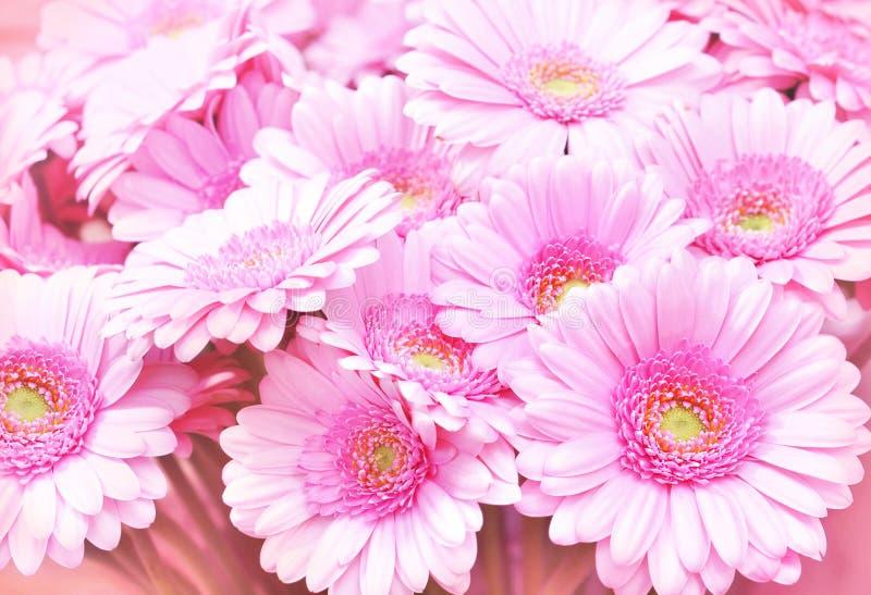 Flores rosadas florecientes del gerbera del verano/del otoño foto de archivo