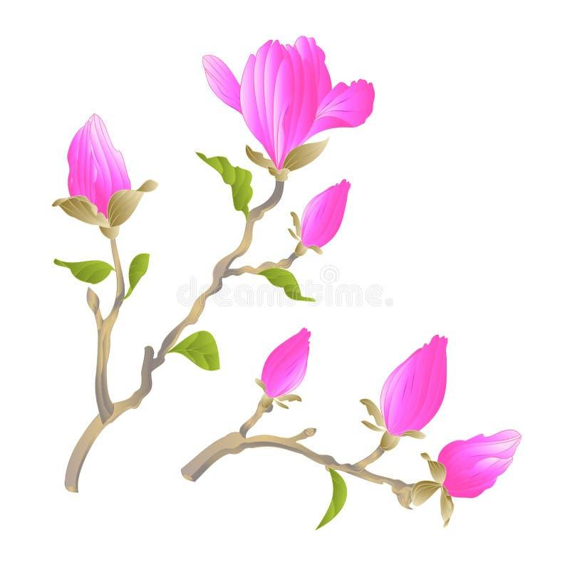 Flores rosadas florecientes y brotes de la magnolia china del tronco con el ejemplo botánico IED del vector del vintage del fondo ilustración del vector