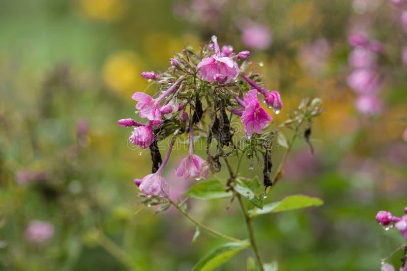 Flores rosadas hermosas con las gotas de agua y el fondo suave fotos de archivo libres de regalías
