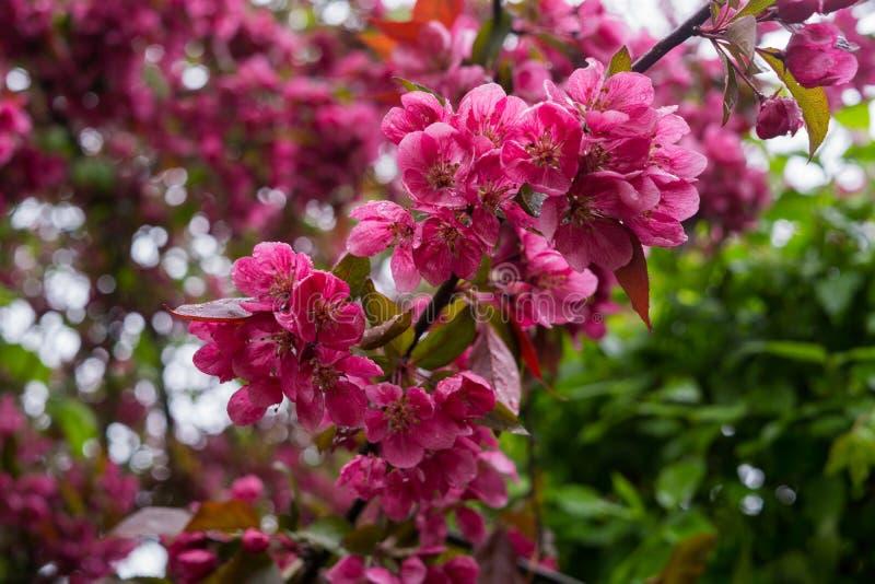 Flores rosadas hermosas del ciruelo de cereza oscuro en una rama en primavera fotos de archivo libres de regalías