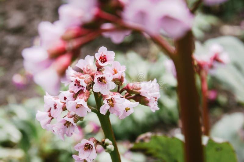 Flores rosadas hermosas en la forma de las campanas que crecen en el jardín imagen de archivo