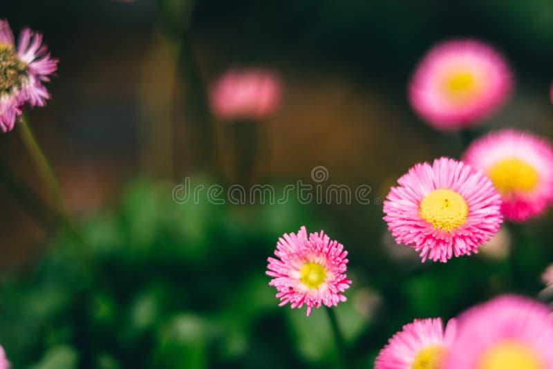 Flores rosadas hermosas para los conceptos del amor fotografía de archivo