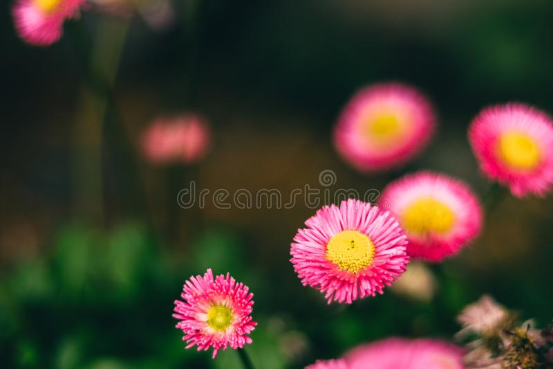 Flores rosadas hermosas para los conceptos del amor imagen de archivo