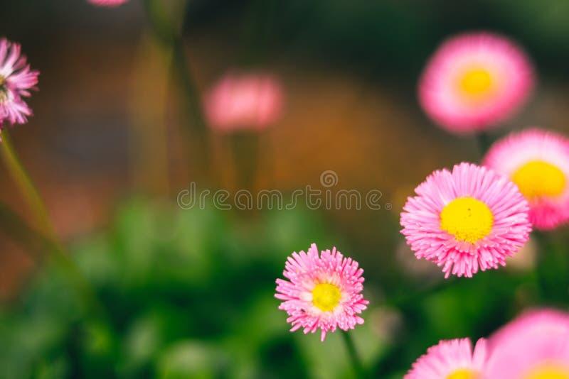 Flores rosadas hermosas para los conceptos del amor imagen de archivo libre de regalías