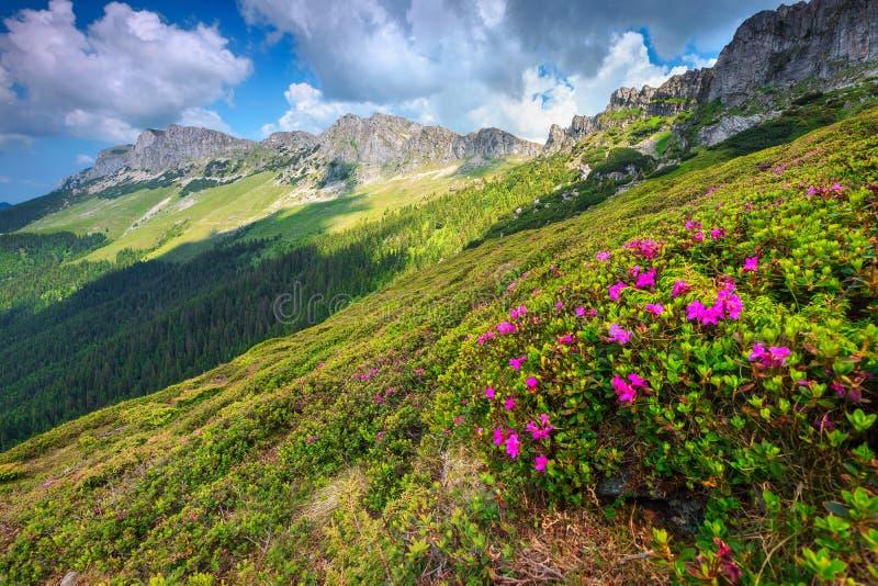 Flores rosadas impresionantes en las montañas, Bucegi, Cárpatos, Rumania del rododendro fotos de archivo