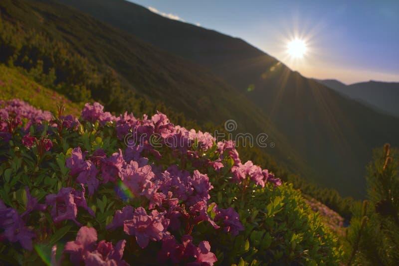 Flores rosadas mágicas del rododendro foto de archivo libre de regalías