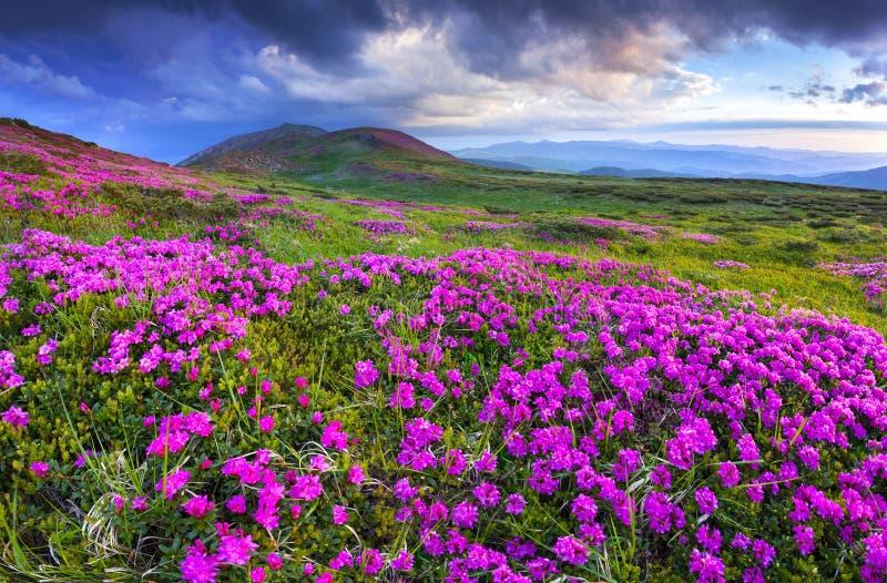Flores rosadas mágicas del rododendro en las montañas fotografía de archivo