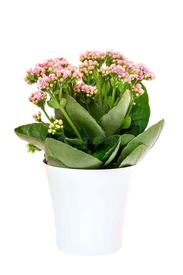 Flores rosadas o Kalanchoe de Calandiva en pote en el fondo blanco imágenes de archivo libres de regalías