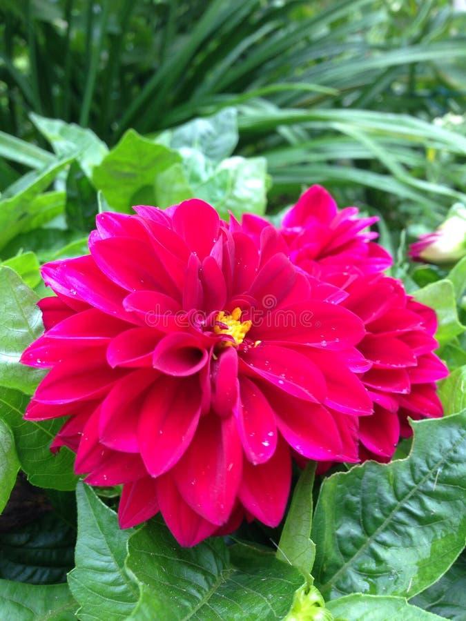 Flores rosadas oscuras foto de archivo libre de regalías