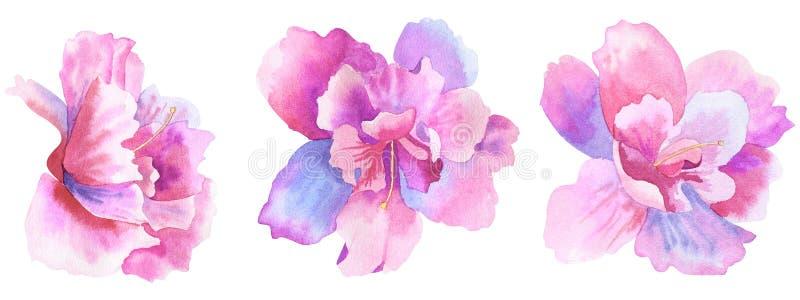 Flores rosadas púrpuras hermosas Conjunto floral Ejemplo dibujado mano de la acuarela Aislado en el fondo blanco stock de ilustración