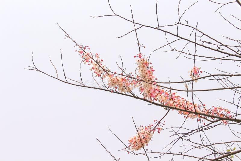 Flores rosadas que florecen en ramas secas del árbol, del fondo de Cassia Bakeriana Craib y del cielo foto de archivo