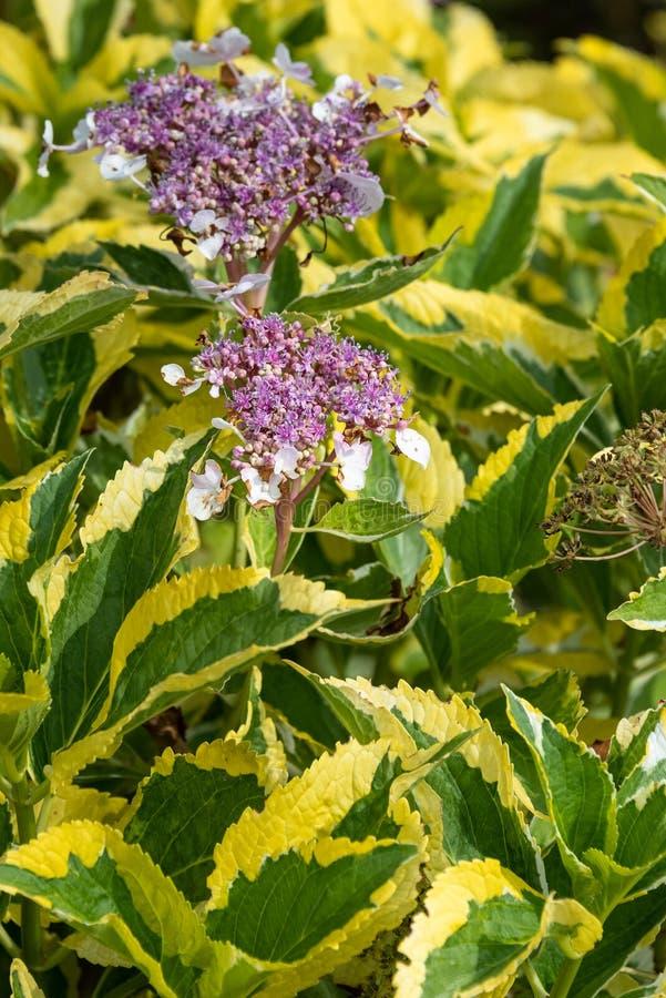Flores rosadas que florecen en un arbusto con las hojas abigarradas amarillas y verdes fotografía de archivo libre de regalías