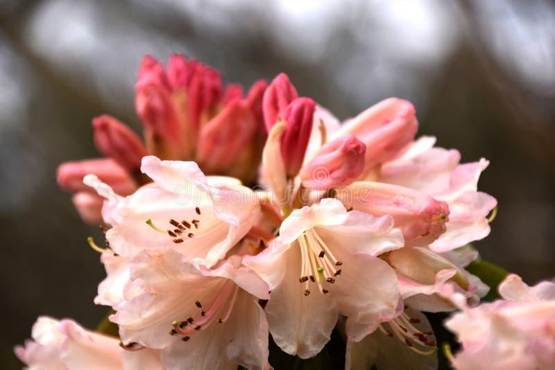 Flores rosadas - rododendro imagen de archivo libre de regalías