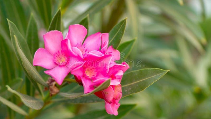 Flores rosadas Rojo-Hojear Rose fotografía de archivo libre de regalías