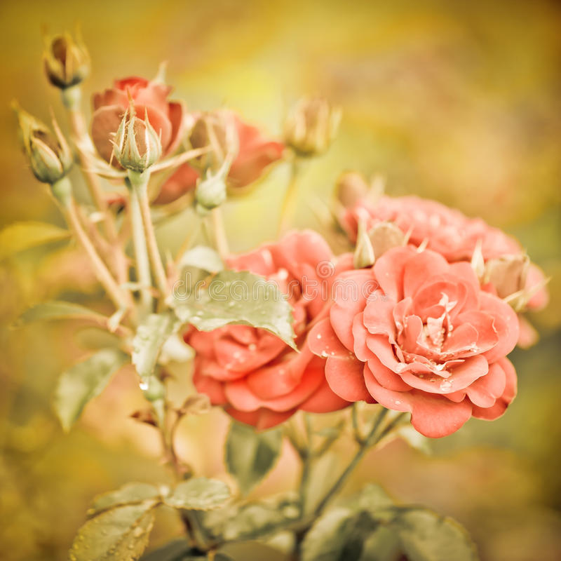 Flores rosadas románticas abstractas de las rosas imagen de archivo