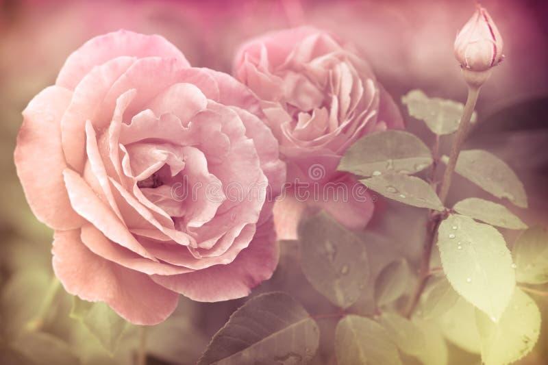 Flores rosadas románticas abstractas de las rosas imagen de archivo libre de regalías