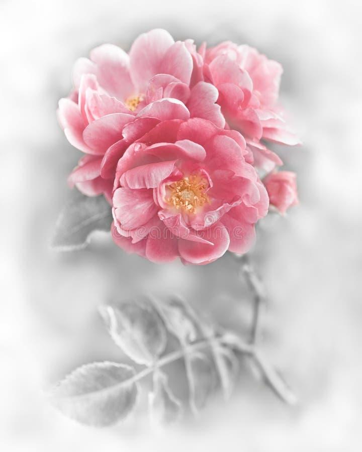 Flores rosadas románticas abstractas de las rosas fotografía de archivo libre de regalías