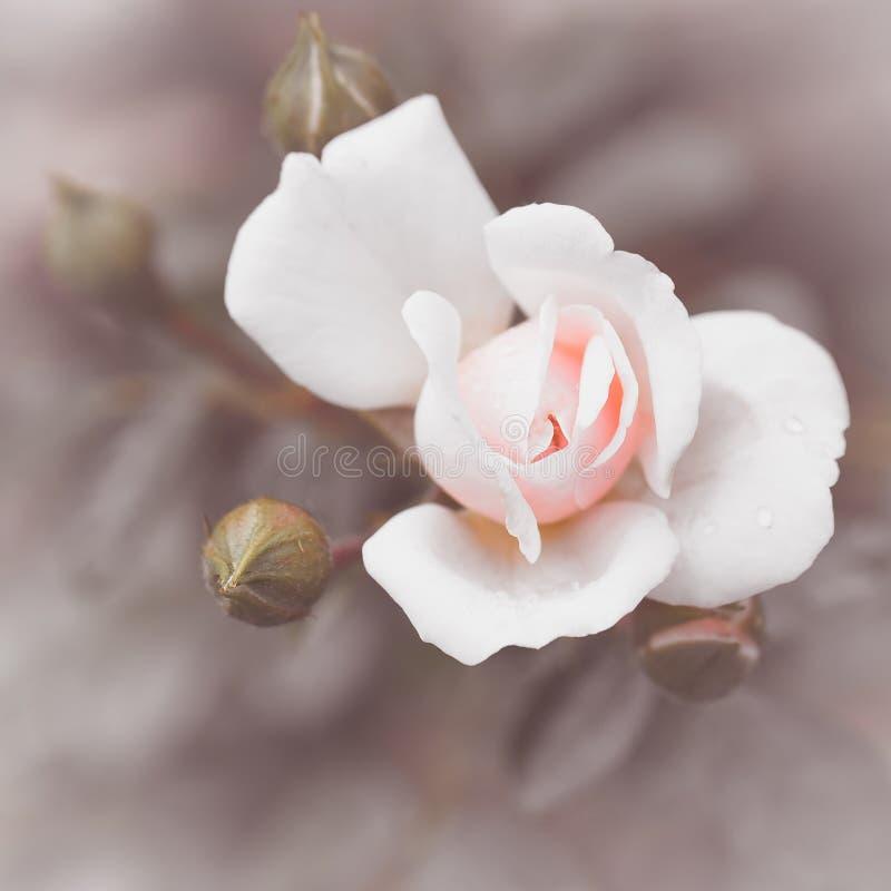 Flores rosadas románticas abstractas de las rosas imagenes de archivo
